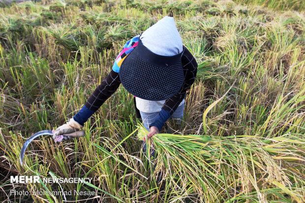 Harvesting rice traditionally in Golestan prov.