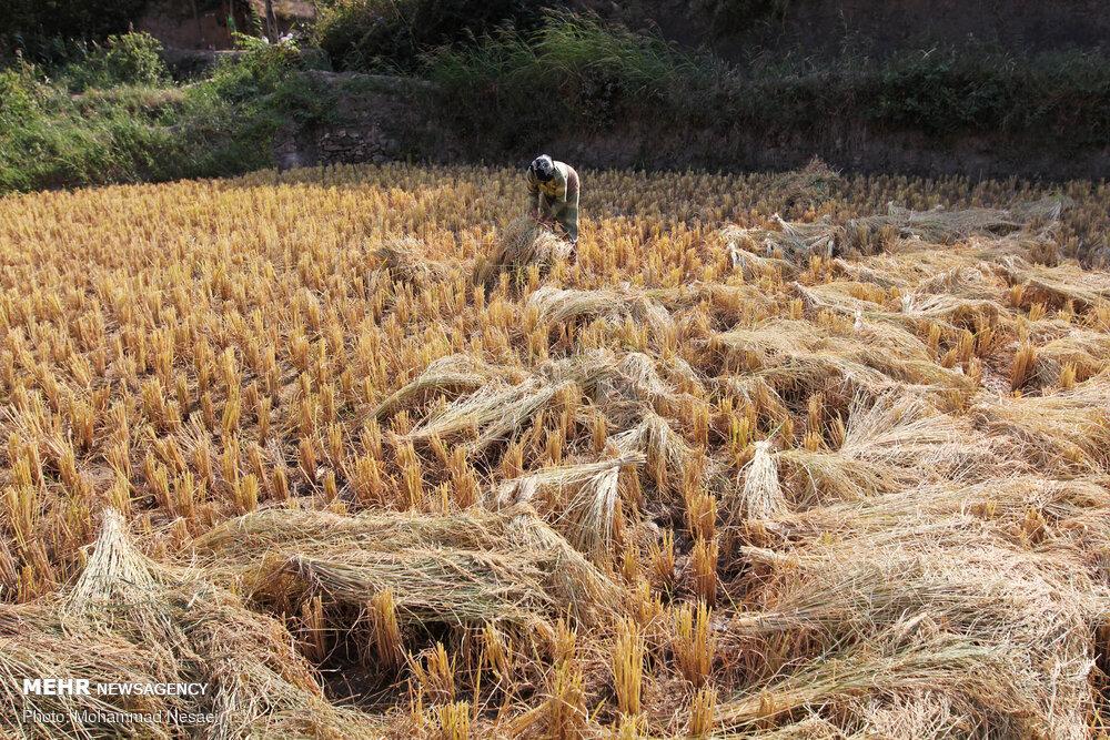 دلالان برنج و سودهای نابرده رنج/ دسترنج شالیکاران به یغما رفت