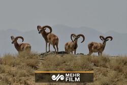 قوچ و میش های منطقه حفاظت شده پلنگ دره قم