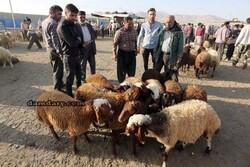 خرید و فروش گوسفند زنده به قیمت روز بازار