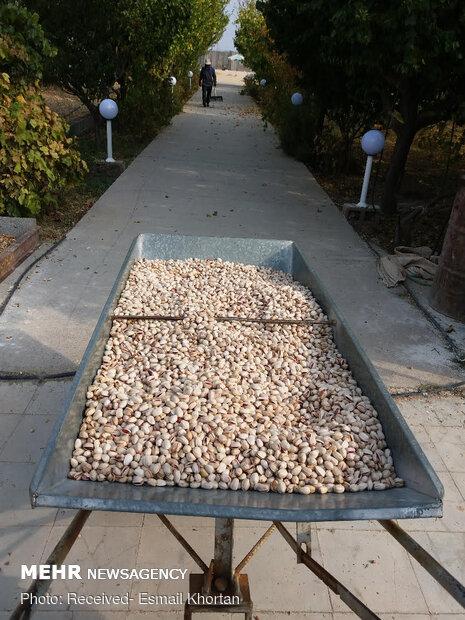 Pistachio harvest in Sirjan
