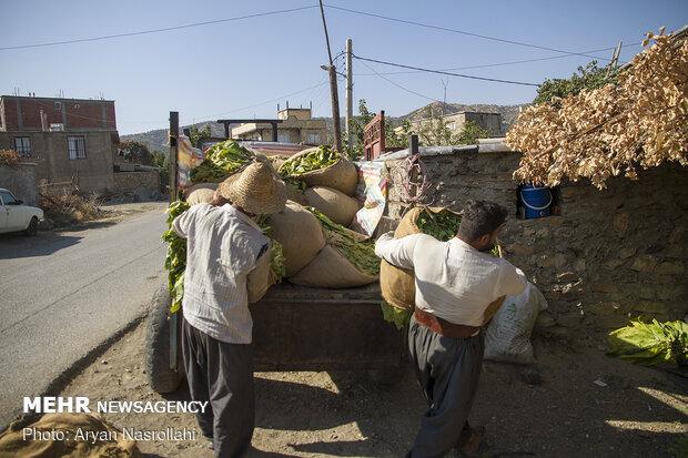 Harvest of tobacco in Kordestan province