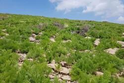 چرای پائیزه در مراتع قشلاقی ورامین تا پایان آذرماه ادامه دارد