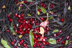 برداشت یاقوت سرخ از باغات هورامان