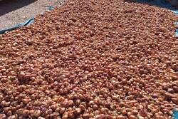 برآورد تولید ۷۰ تن پیاز در اصفهان/کشت نشایی پیاز ارجحیت دارد