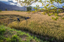 Traditional rice harvesting in Alamut