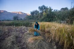 تولید ۲.۶ میلیون تن برنج در سال ۹۹/تامین ۸۵ درصدی نیاز داخل