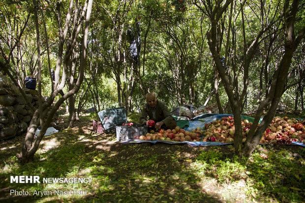 Pomegranate harvest in Western Iran