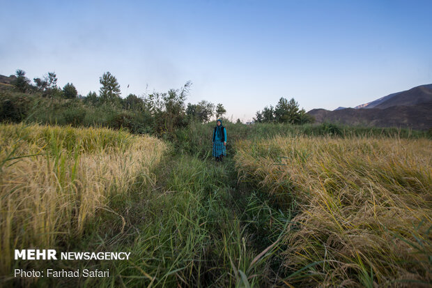 برداشت سنتی برنج در الموت