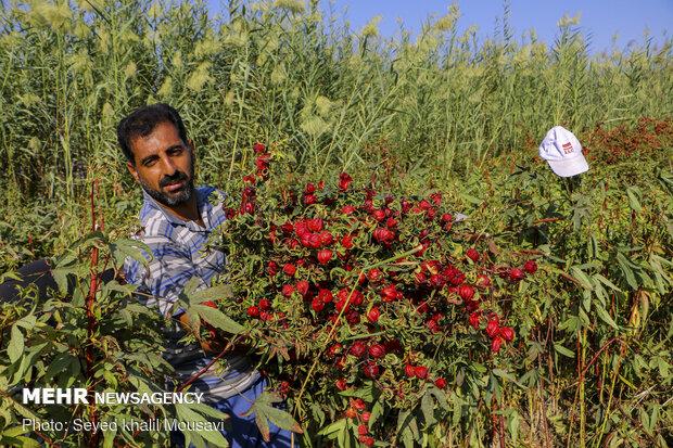 Harvesting Roselle flowers in Khuzestan