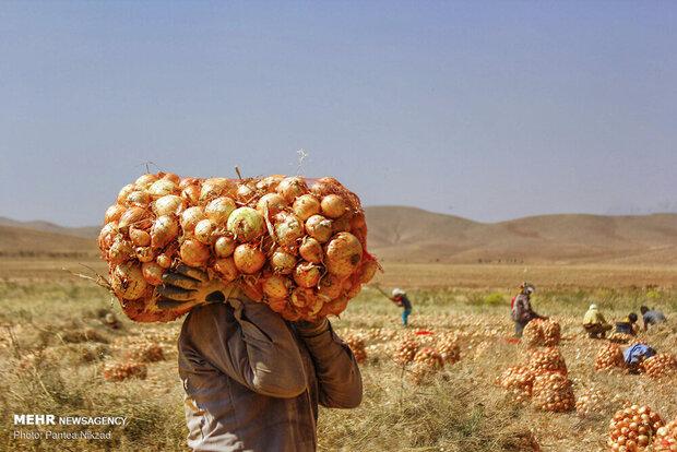 قرض برای ادامه تولید در زمینهای کشاورزی / برای خرید کود پول نداریم