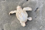 رصد یک بچه لاک پشت سفید در شهر ساحلی