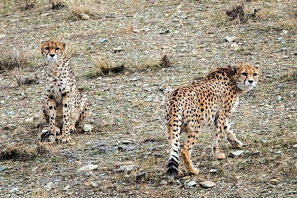 Asiatic cheetahs spotted in Tabas county, E Iran