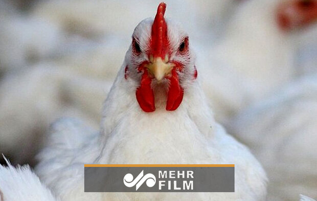 مرغ پر کشید!