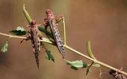 سازمان حفظ نباتات درباره احتمال ورود ملخ صحرایی هشدار داد