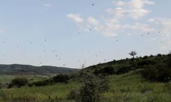 مبارزه با ملخ در بیش از ۲۵۰ هزار هکتار از مزارع رباط کریم