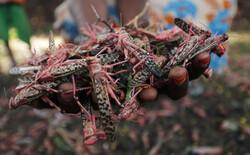 هجوم الجراد الأحمر _كلون الدم _ على مزارع إثيوبيا/ صور