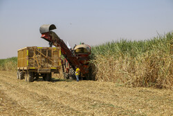 Harvesting sugarcane in Khuzestan prov.
