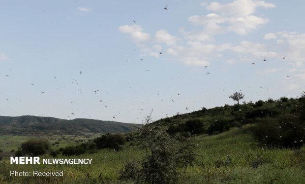 حمله ملخها به مزارع اتیوپی