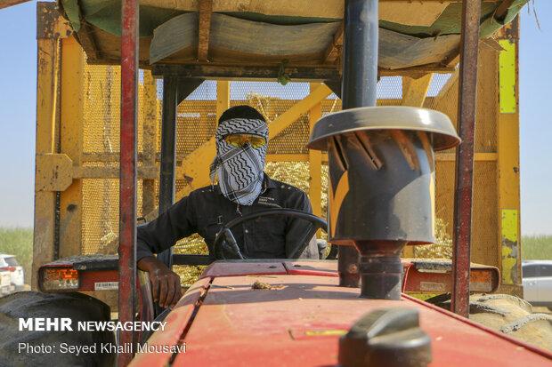 Harvesting sugarcane kicks off in Khuzestan prov.