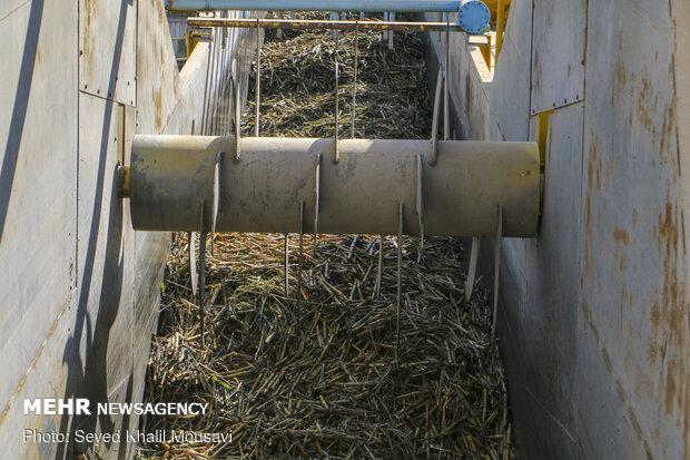 آغاز برداشت محصول نیشکر در خوزستان