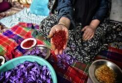 تبانی در زمین زعفران/ دلالان چند برابر ارزانتر میخرند
