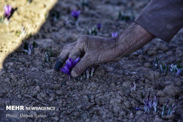 برداشت زعفران در روستای وامنان استان گلستان