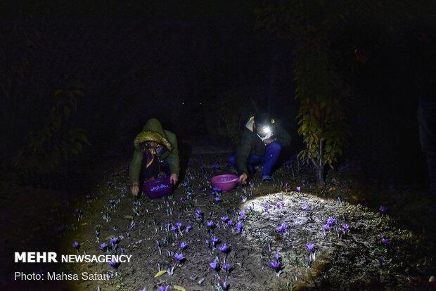 Saffron harvest in Golestan prov.