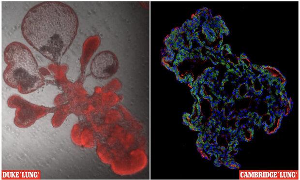ریههای کوچک مصنوعی برای مطالعه ویروس کرونا ساخته شدند