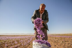 Saffron harvest in North Khorasan Prov.