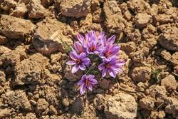 پیشبینی برداشت ۵۰ کیلوگرم زعفران از مزارع اسلامآبادغرب