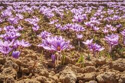 آغاز برداشت زعفران از ۵ هکتار از اراضی کشاورزی دماوند