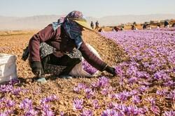 تولید ۹ تن زعفران در اصفهان/ صادرات گیاهان دارویی استان به ۱۳ میلیون دلار رسید