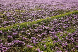 افزایش ۳۰ درصدی برداشت زعفران در آذربایجانشرقی
