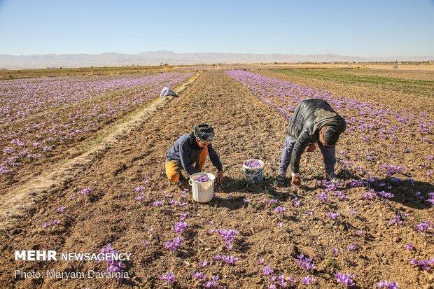 زرپران خراسان -  برداشت زعفران از مزارع خراسان شمالی