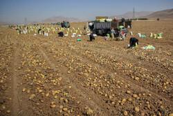 سطح زیر کشت سیب زمینی در چهارمحال و بختیاری کاهش یافت