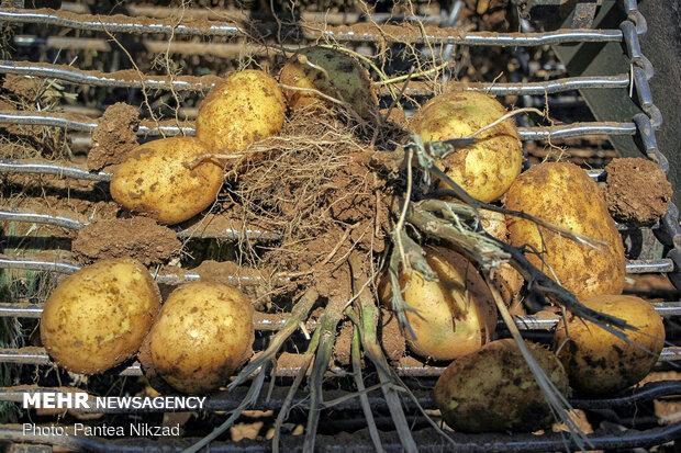 برداشت سیب زمینی از مزارع شهرکرد