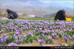 برندسازی مانع صادرات زعفران از مازندران