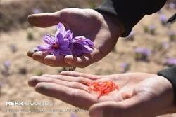 کشاورزان زعفران خود را به تدریج در بازار عرضه کنند