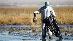 شناسایی بیماری آنفلوانزای فوق حاد پرندگان در اصلاندوز