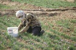 ۱۸۰ کیلوگرم زعفران در شهرستان بن برداشت می شود