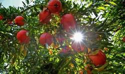 دل پر خون انار «سیاب» از دست دلالان/ یاقوت سرخ از عیار افتاد