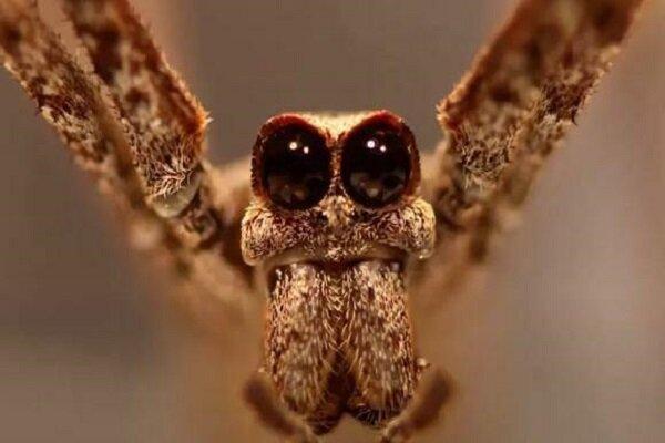 عنکبوت هایی که با پاهایشان می شنوند