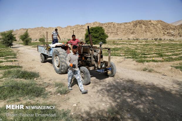 آغاز برداشت « شمام » از مزارع شهرستان بندر خمیر - هرمزگان