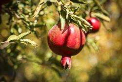 İran'da nar hasadı zamanı