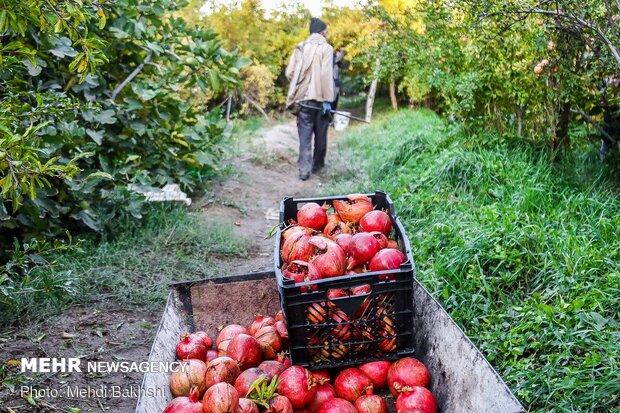 Pomegranate harvest in Qom