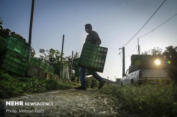 Kiwi harvest in N Iran