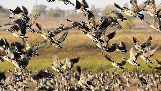 تلفاتی از پرندگان مهاجر در شهرستان بستک مشاهده نشده است