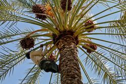 İran'ın güneyindeki hurma hasadından fotoğraflar