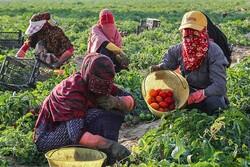 تولید ۲۸ میلیون تن سبزی و صیفی در کشور